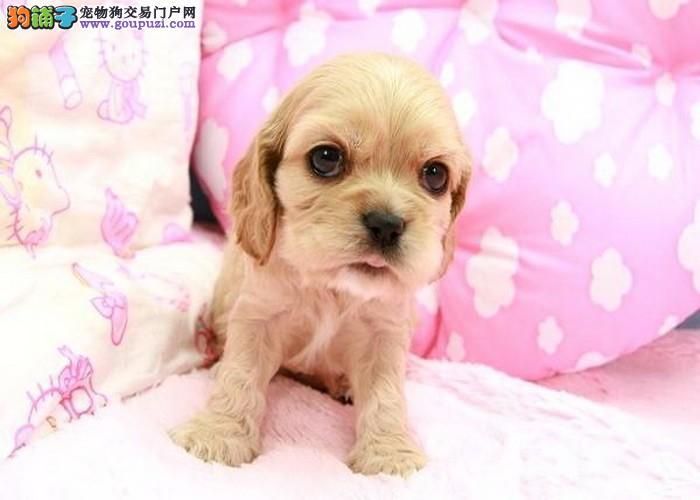 杏坛顺德哪里有卖宠物狗 佛山哪里买纯种美系可卡幼犬