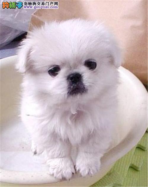 冠军犬后代赛级高品质京巴幼犬免疫驱虫齐全健康可送