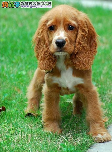 纯种可卡犬幼犬/纯种英卡幼犬、纯种美卡幼犬