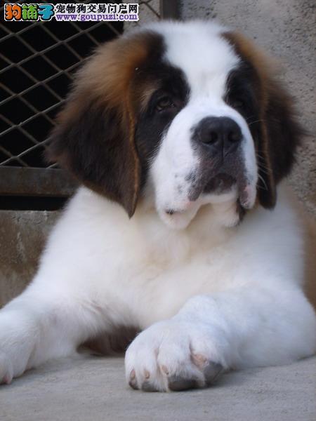 圣伯纳幼犬出售中,完美品相 品质第一,可签保障协议