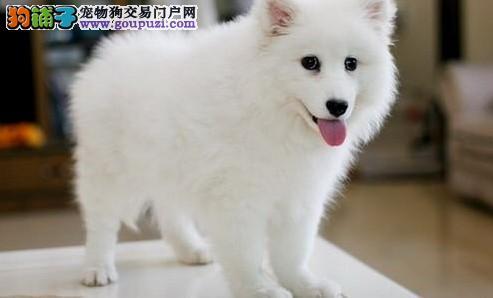 日本尖嘴银狐宝宝出售 保纯保质保健康