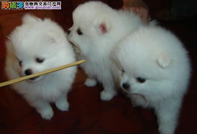 武汉出售纯种宠物狗家养纯种银狐一窝转让公母都有