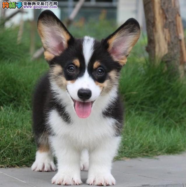 百分百纯正柯基犬 赛级血统 国际CKU认证柯基犬