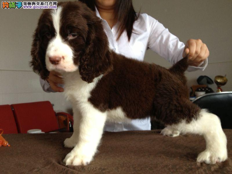 精品史宾格幼犬出售 免费指导养殖知识 外地可以配送