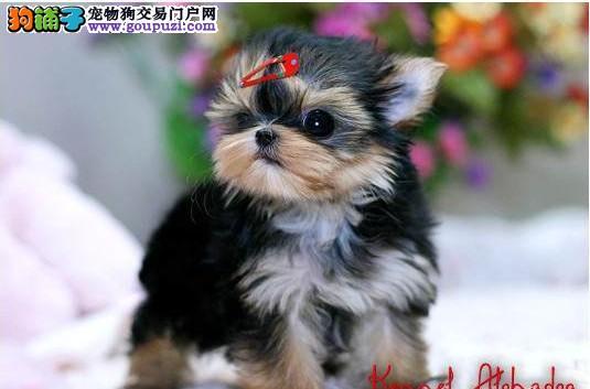 可爱.迷人的约克夏狗狗来找妈妈啦