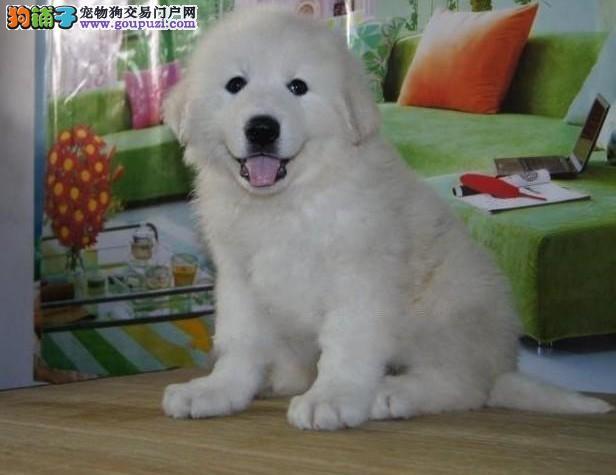 直销大白熊幼犬,精心繁育品质优良,质保健康90天