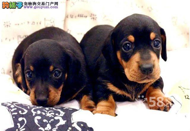 通州出售腊肠犬幼犬品质好有保障期待您的来电咨询