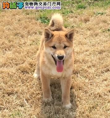 吉安CKU认证犬舍出售高品质柴犬终身售后送货