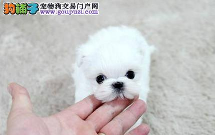 犬舍低价热销 马尔济斯血统纯正价格美丽品质优良