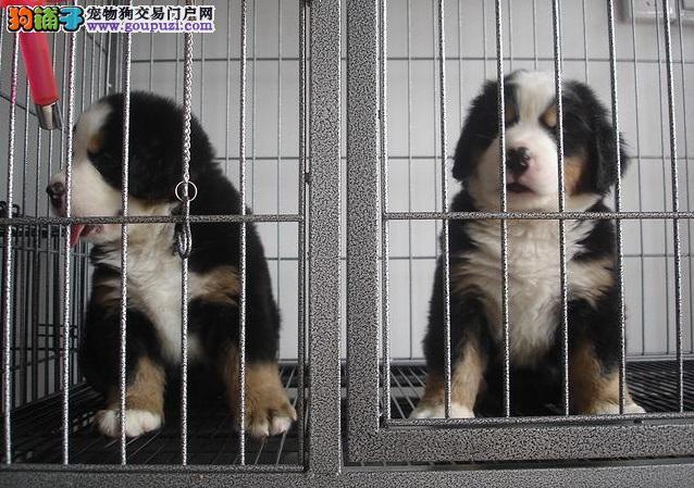 伯恩山 纯种伯恩山养殖基地 欢迎各位爱犬朋友前来