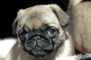 CKU常驻犬舍出售纯种健康鹰版巴哥质保三年