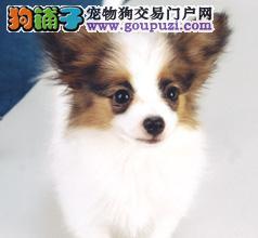 武汉自家繁殖的纯种蝴蝶犬找主人质量三包完美售后