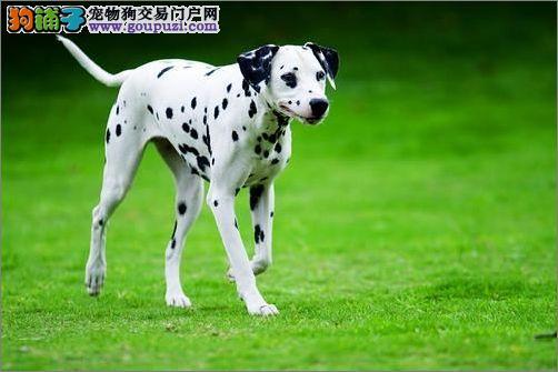 狗场直销繁殖纯种赛级斑点幼犬 高品质纯血统