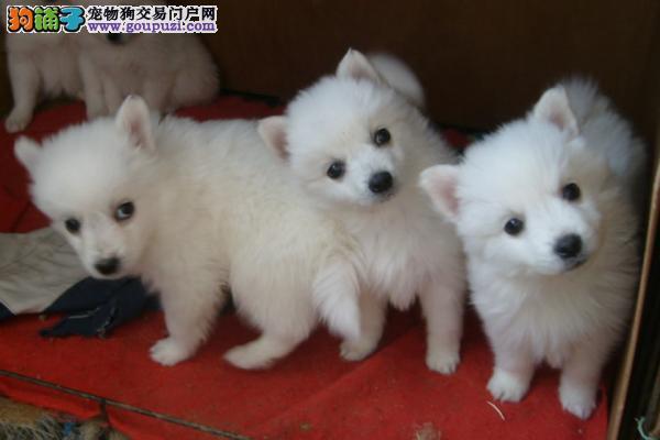 赛级品相银狐犬幼犬低价出售价格美丽非诚勿扰