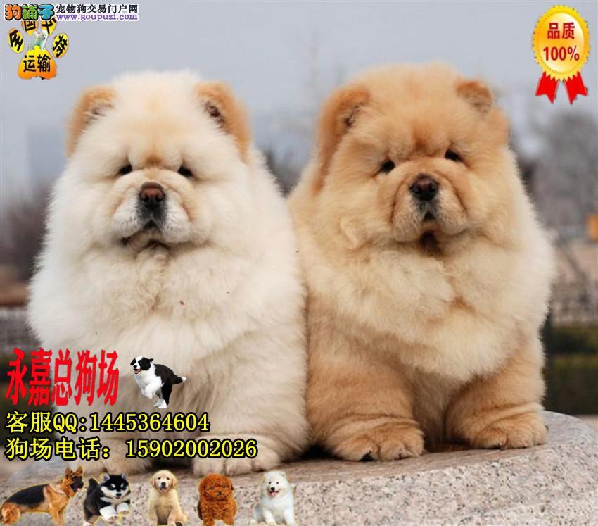 东莞正规狗场 永嘉狗场 出售纯种松狮幼犬
