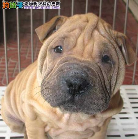 绵阳沙皮犬幼犬出售血统纯正健康保证皱皮沙皮狗