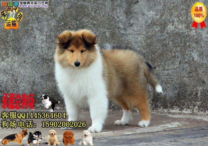 东莞正规狗场 永嘉狗场 出售纯种苏格兰幼犬