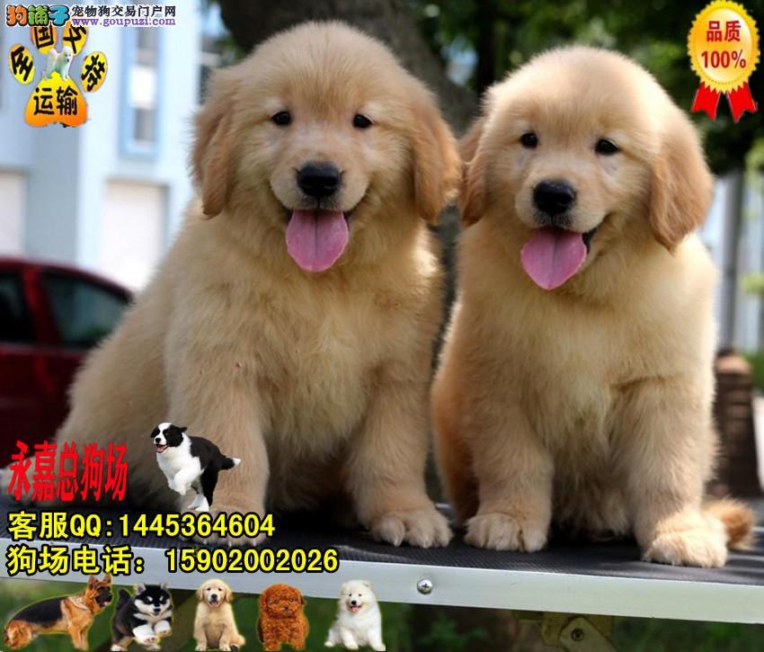 东莞正规狗场 永嘉狗场 出售纯种金毛幼犬