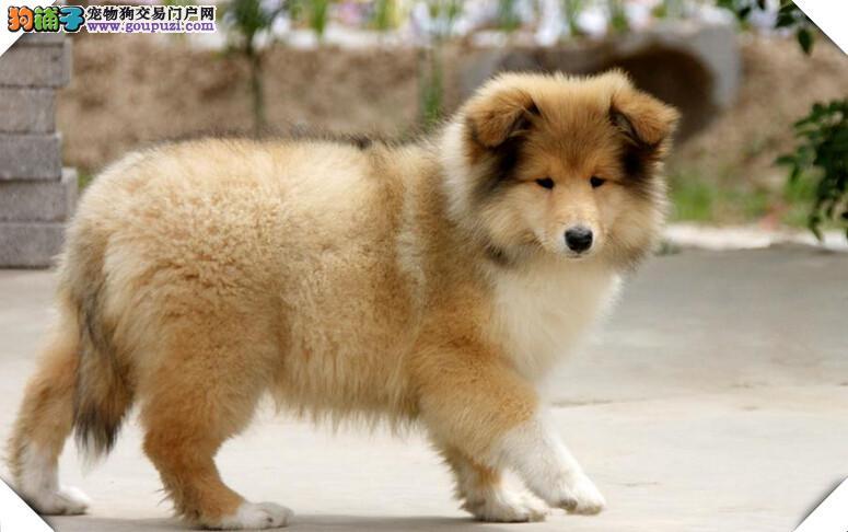 极品苏格兰牧羊犬幼犬、纯度第一价位最低、讲诚信信誉好