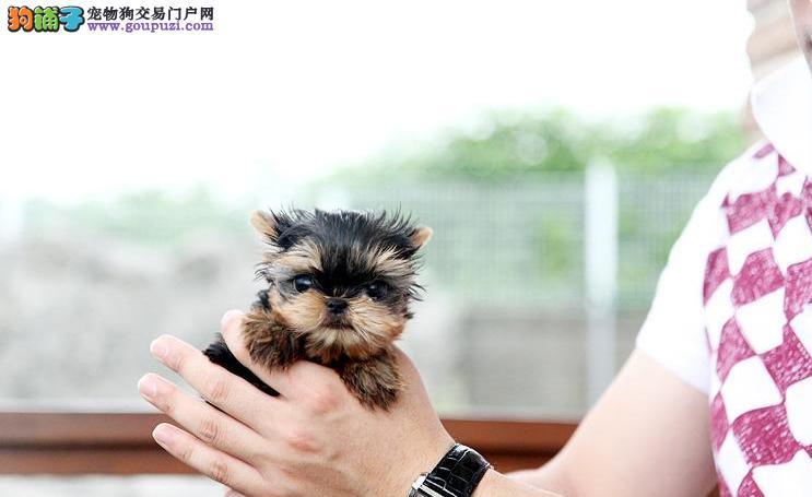 约克夏海口CKU认证犬舍自繁自销签订协议终身质保