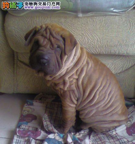 可爱胖乎乎皱皮的沙皮幼犬欢迎前来选购