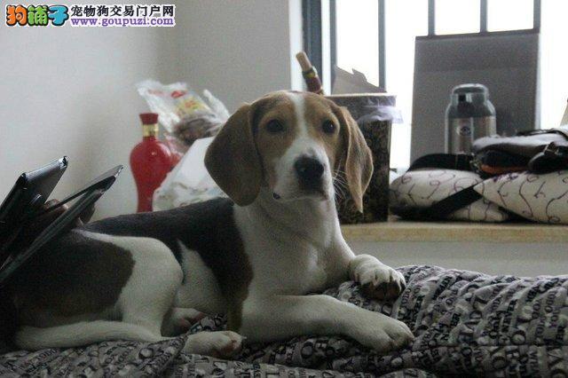 专业正规犬舍热卖优秀的杭州比格犬喜欢加微信可签署协议