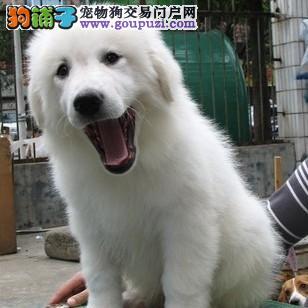 武汉精品高品质大白熊幼犬热卖中价格美丽非诚勿扰