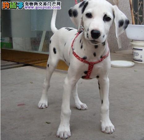 高品质斑点狗幼犬,CKU认证绝对保障,绝对信誉保证