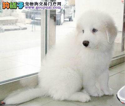 南京出售宠物宝宝大白熊 健康机灵 色泽靓丽 有保证