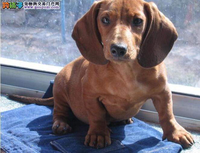 出售琼山腊肠犬专业缔造完美品质多种血统供选购