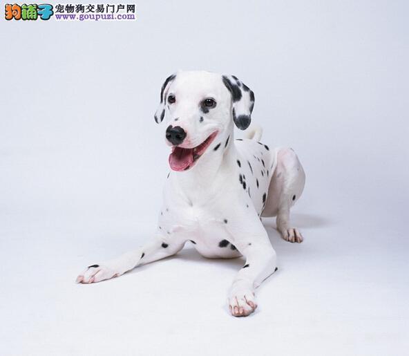 精品高品质斑点狗宝宝热销中专业繁殖中心值得信赖