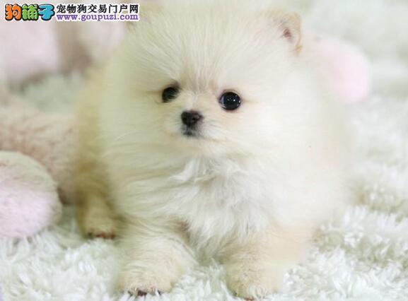 出售自家繁殖的尖嘴银狐幼犬保纯种健康