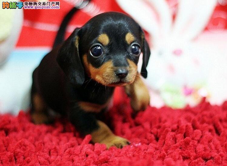 公母均有的北京腊肠犬找爸爸妈妈狗贩子请绕行
