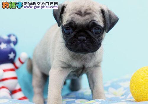 出售胖乎乎可爱健康的巴哥幼犬