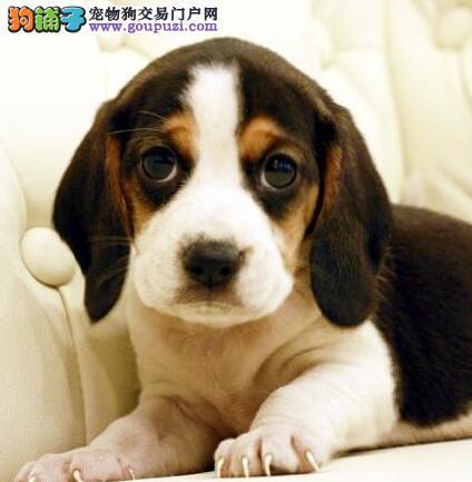 我是爱狗人士丶我为{精品比格幼犬}代言丶服务不卑不亢