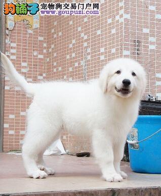 国际注册犬舍 出售极品赛级大白熊幼犬送用品送狗粮