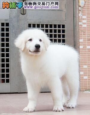 出售高品质大白熊、CKU认证犬舍、签订终身合同