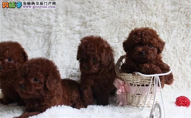 出售极品茶杯犬幼犬完美品相假一赔万签活体协议