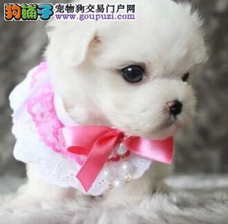 娇小可爱的马尔济斯幼犬品质保证快来选购吧
