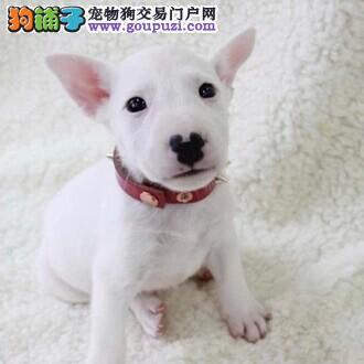 广东省牛头梗俱乐部 牛头梗的价钱 牛头梗的照片
