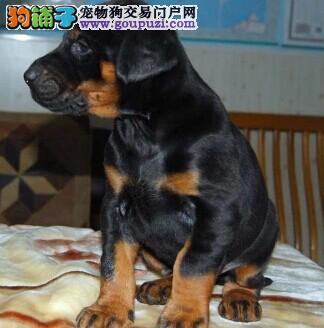 短毛德系杜宾幼犬 专业养殖场繁殖的顶级帅气杜宾