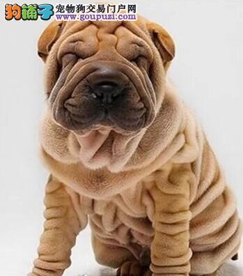 阳光可爱沙皮犬幼仔 品质保障 您心动了吗