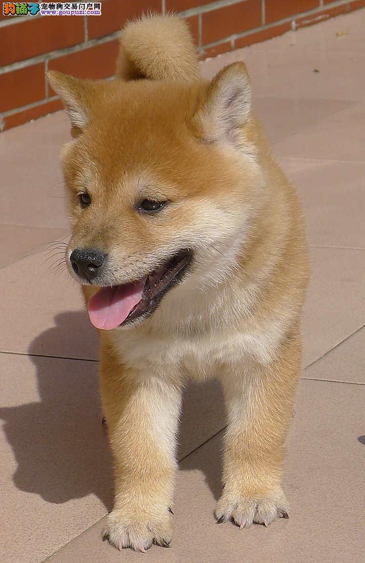 极品日本柴犬宝宝,纯种健康完美售后 可签协议