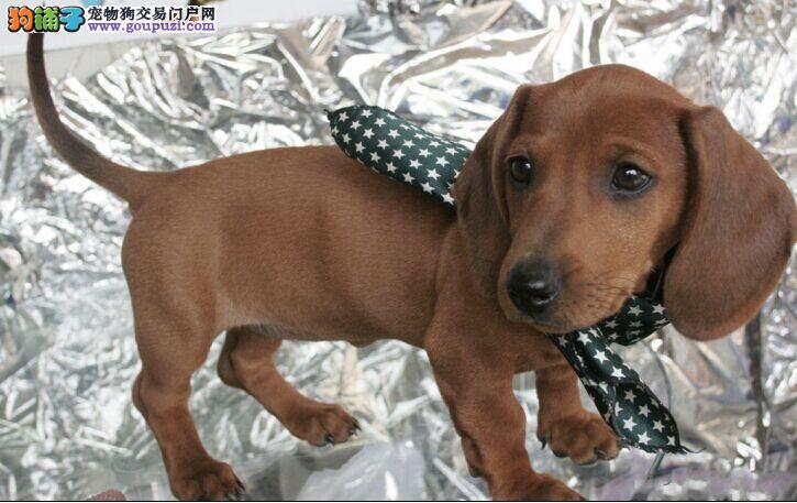 深圳最大犬舍出售多种颜色腊肠犬加微信送用品
