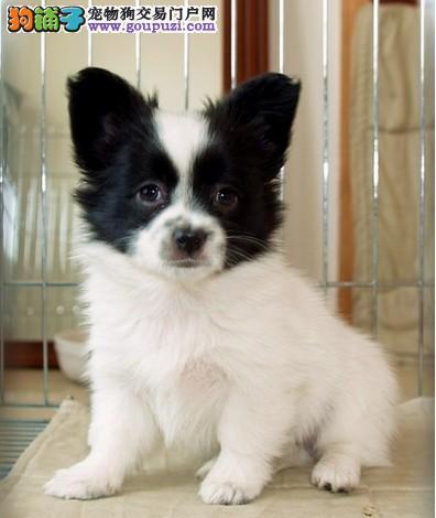 新疆哪里有蝴蝶犬卖 新疆蝴蝶犬多少钱 新疆宠物狗狗