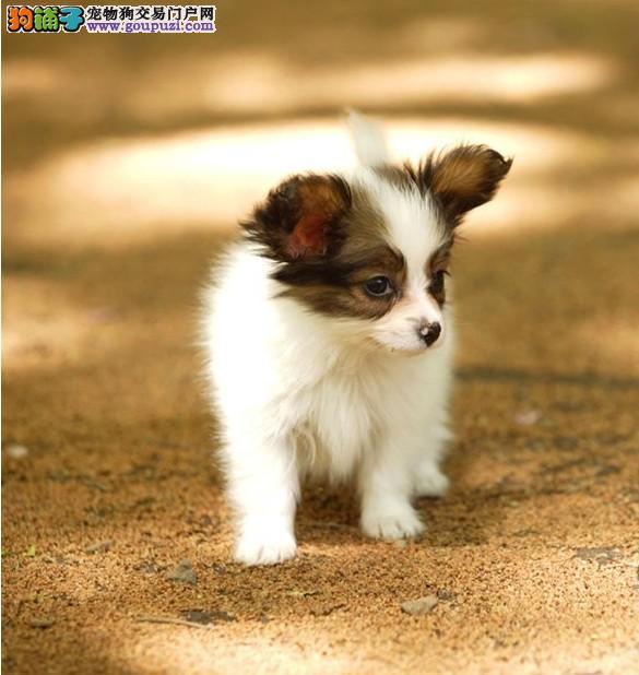 蝴蝶犬找新家、纯正血统完善服务、提供养护指导