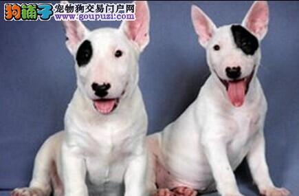 牛头梗海盗眼牛头 cku认证犬业健康质保