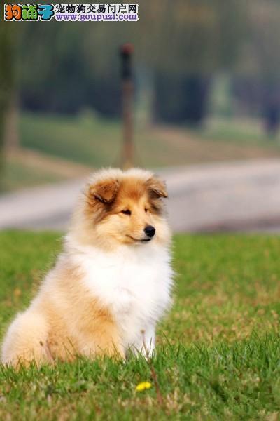 莱芜自家狗场繁殖直销苏牧幼犬看父母照片喜欢加微信
