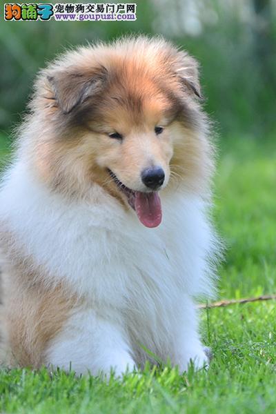 超级精品苏格兰牧羊犬,保证品质一流,等您接它回家
