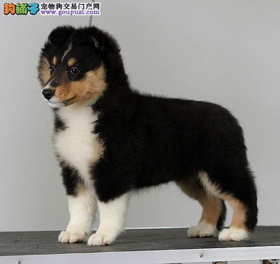 杭州纯种快乐喜乐蒂狗狗找新家